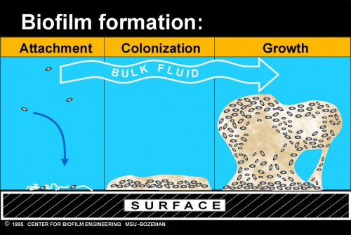 Formation Of BioFilm